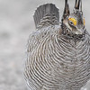 Lesser-Prairie Chicken Action - 21 April 2013 :