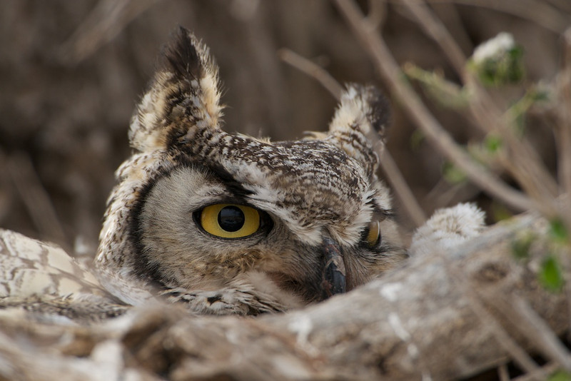 """THE YELLOW EYE - 27 April 2014<br /> <br /> Great Horned Owl Nesting - Milnesand, New Mexico<br /> <br /> Full resolution image can be found here:  <a href=""""http://www.tom-hill.biz/Galleries/Birds/Raptors/i-2Z4Mpnj/A"""">http://www.tom-hill.biz/Galleries/Birds/Raptors/i-2Z4Mpnj/A</a><br /> __________<br /> <br /> Sometimes nature shows up in very unusual places.  In this case, a Great Horned Owl has nested in a tree near the community center of central Milnesand for three of the last four years.  Two or three owlets have fledged each of those years.  The best part is the first year this owl nested here, they were undiscovered until just at the weekend of the Lesser Prairie Chicken Festival.  For weeks, people would be walking, driving their cars, and generally carrying on just a few feet below the nest.  The nest is so obvious it's hidden in broad daylight.<br /> <br /> I've shot many images of this little family over the years.  I consider the circumstances incredible which means I'm pretty lucky.<br /> <br /> Cheers<br /> <br /> Tom"""