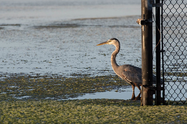 Another capture of wild life around the lagoon at UC Santa Barbara in the lovely early morning light.