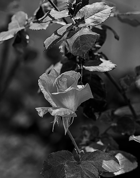 April 25 2017 backyard closeups bw-5120