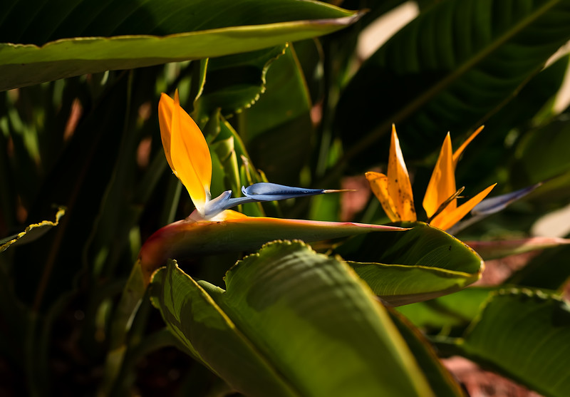 Bird of Paradise (different angle)