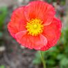 Poppies-7988