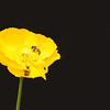 single yellow poppy with working bees rolling in pollin