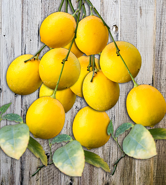bundle of lemons on the vine-wood background 9369