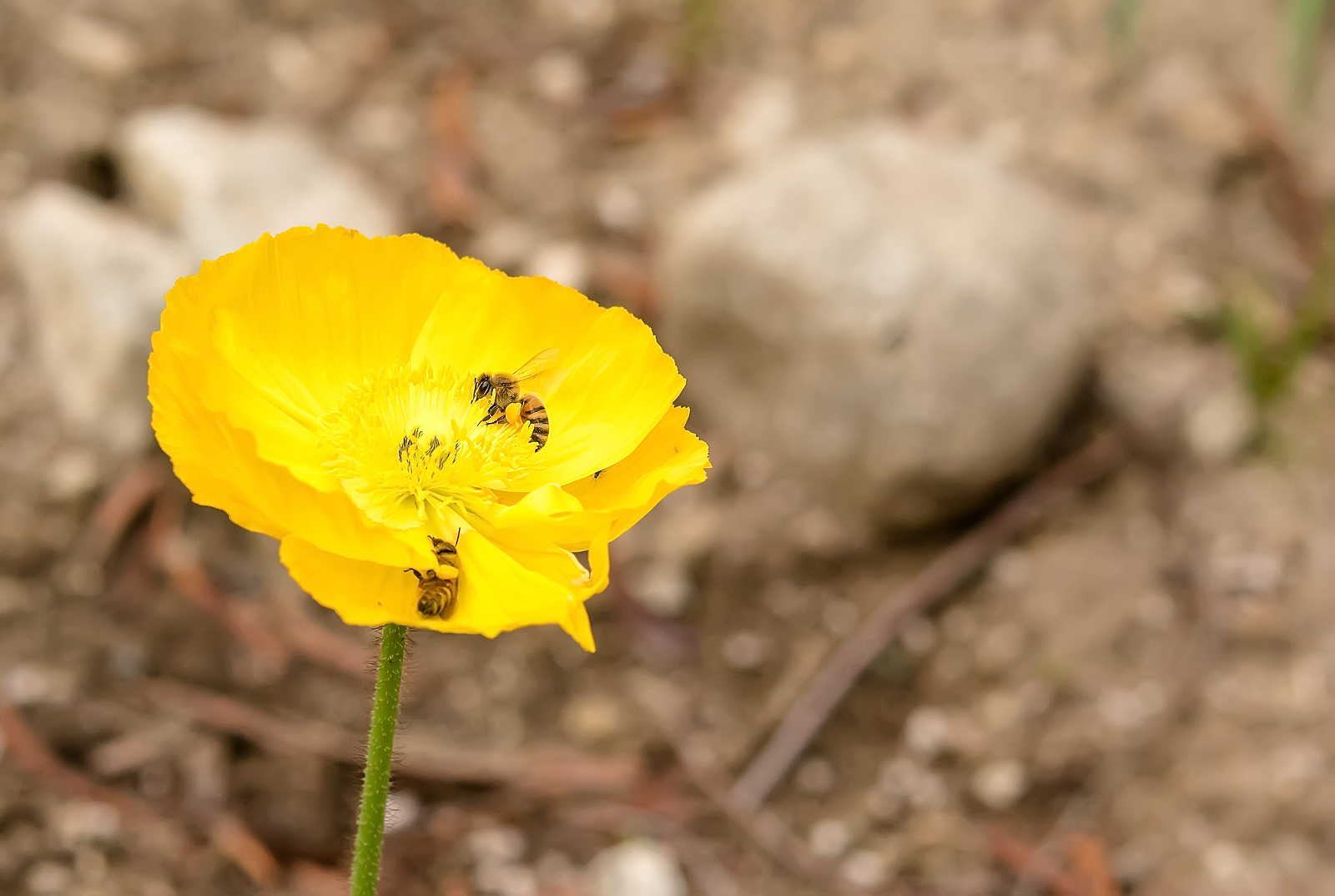 Bees playing inside a yellow poppy flower