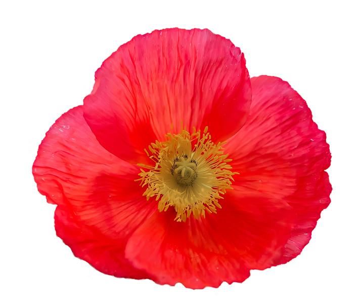 Poppies-7985