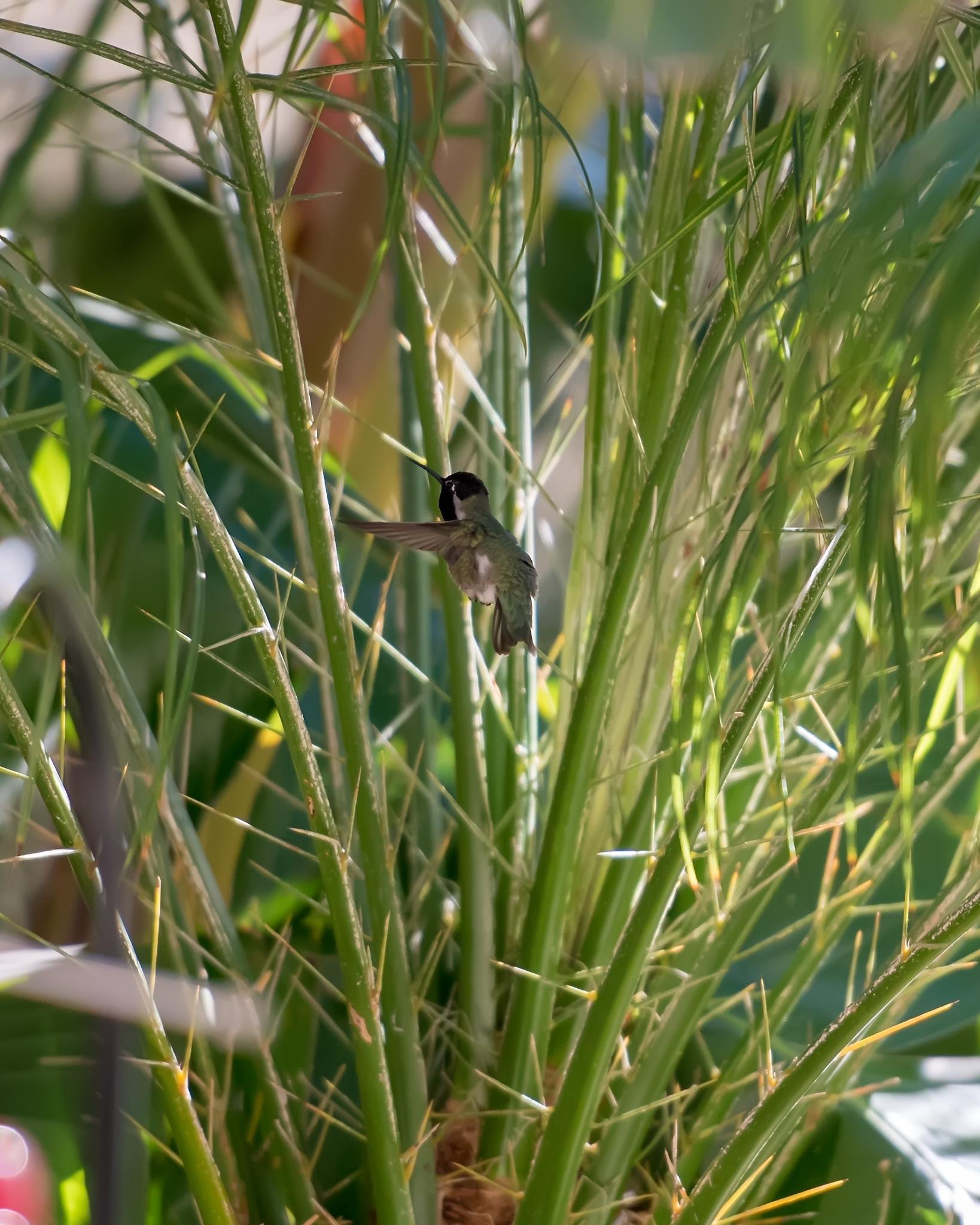 hummingbird-9406