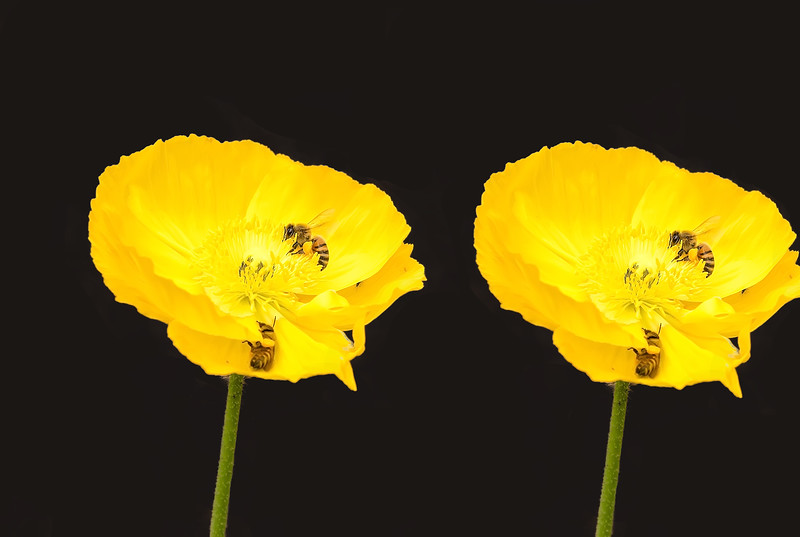 double poppy with working bees