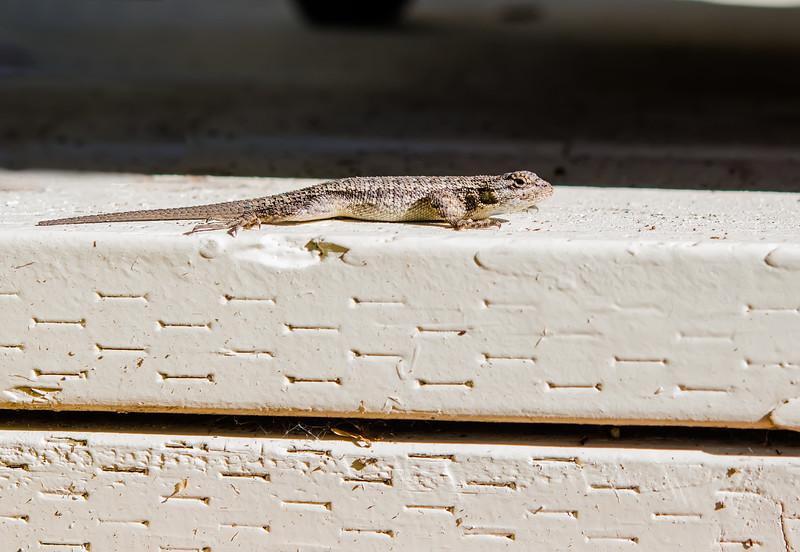 Backyard Lizard-8001