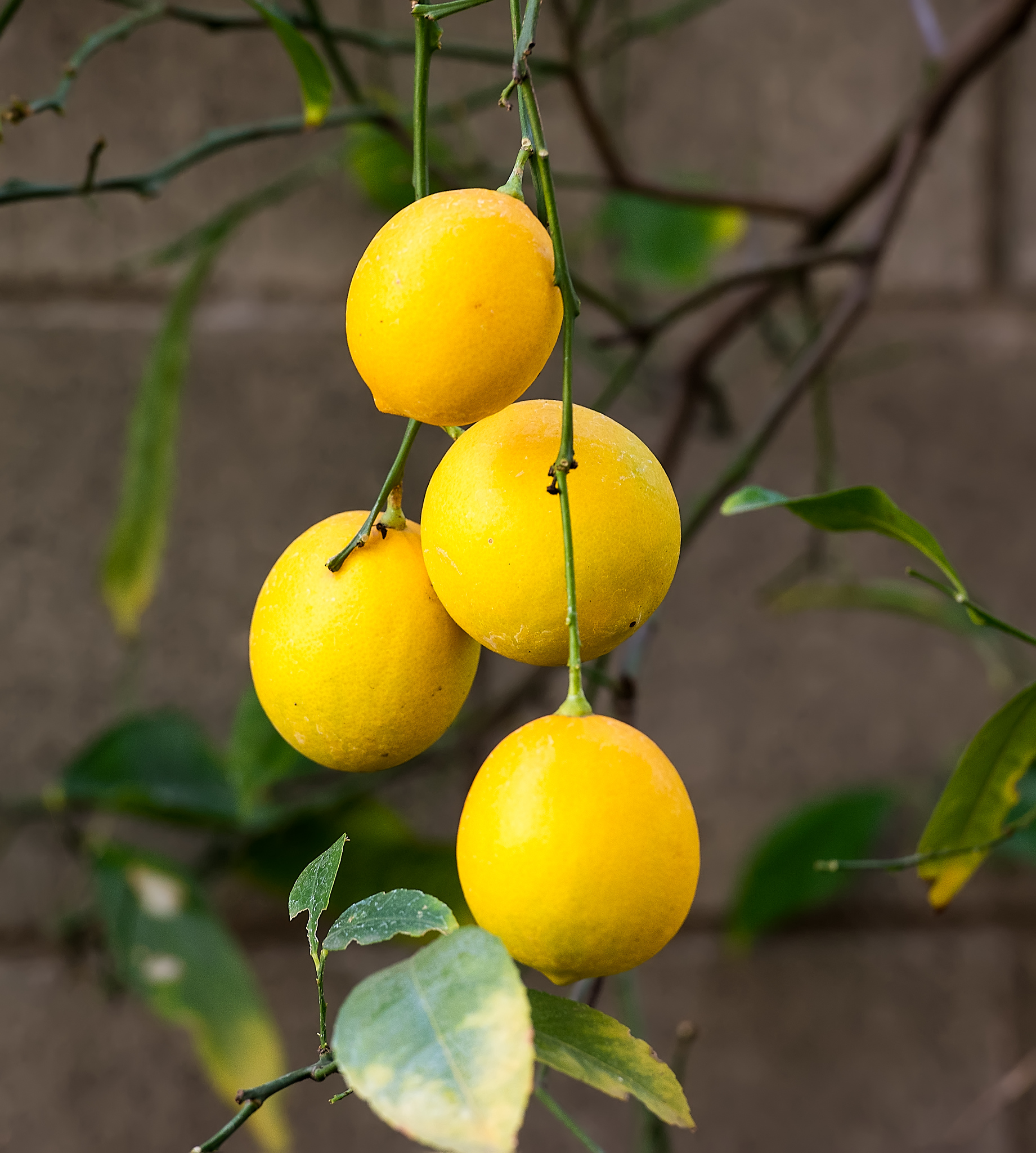 bundle of lemons on the vine-9369
