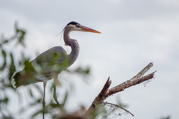 Great Blue Heron image taken through the trees