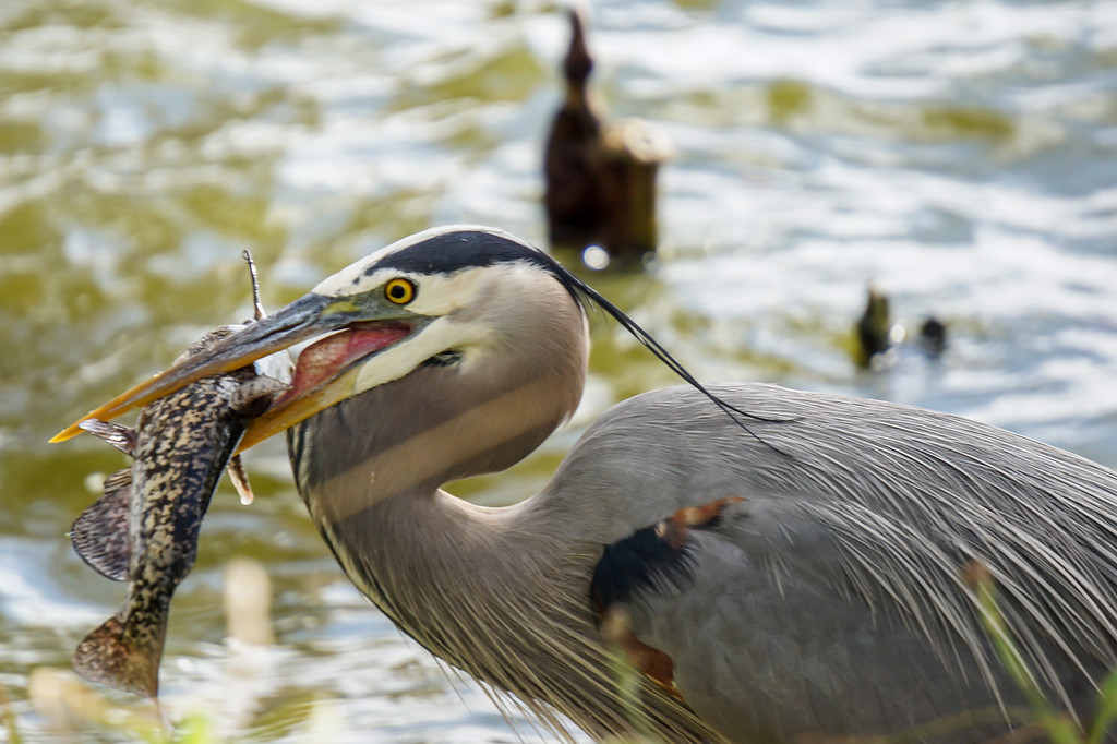 Didn't take long for this Great Blue Heron to catch his meal