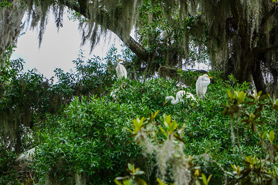 Several adult White Egrets keeping watch over the rookery.