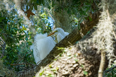 Adult Egret preening his or her chick