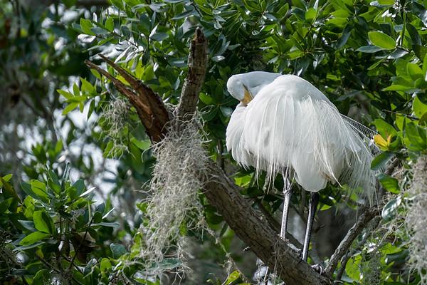 Adult White Egret breeding male with breeding plumage