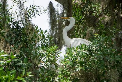 Female White Egret tending to her nest.
