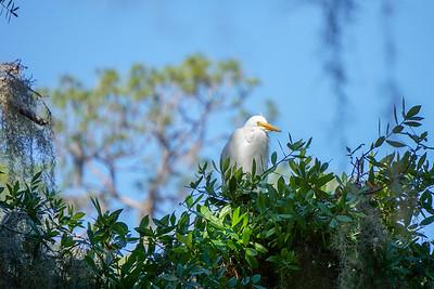 Juvenile Egret sunning.
