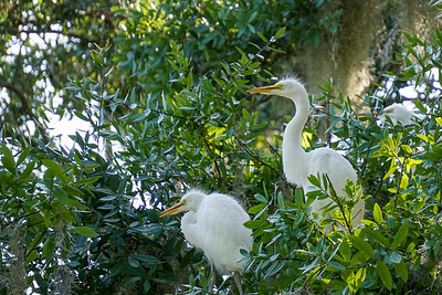 White Egret chicks starting to venture out of the nest.