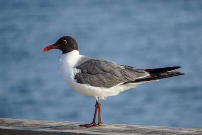 Laughing Gull at St. Andrews