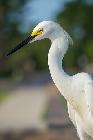 Snowy Egret Profile Pic