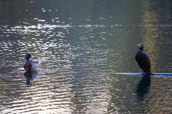 Mallard and a Cormorant