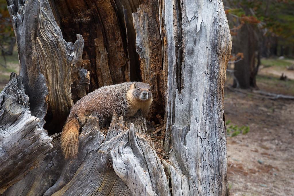 Marmot in a tree