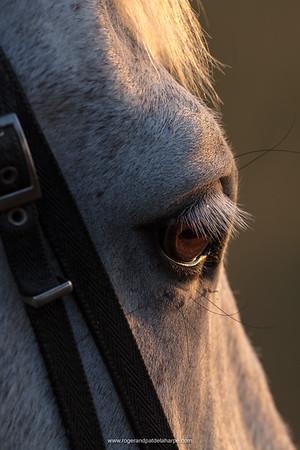 Detail of the eye of a horse. Okavango Delta. Botswana