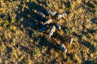 Aerial view of African Bush Elephant (loxodonta africana) herd. Okavango Delta. Botswana