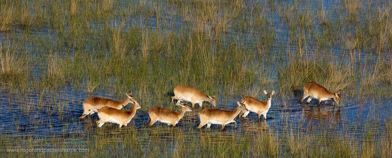 Aerial view of red lechwe (Kobus leche leche). Okavango Delta. Botswana