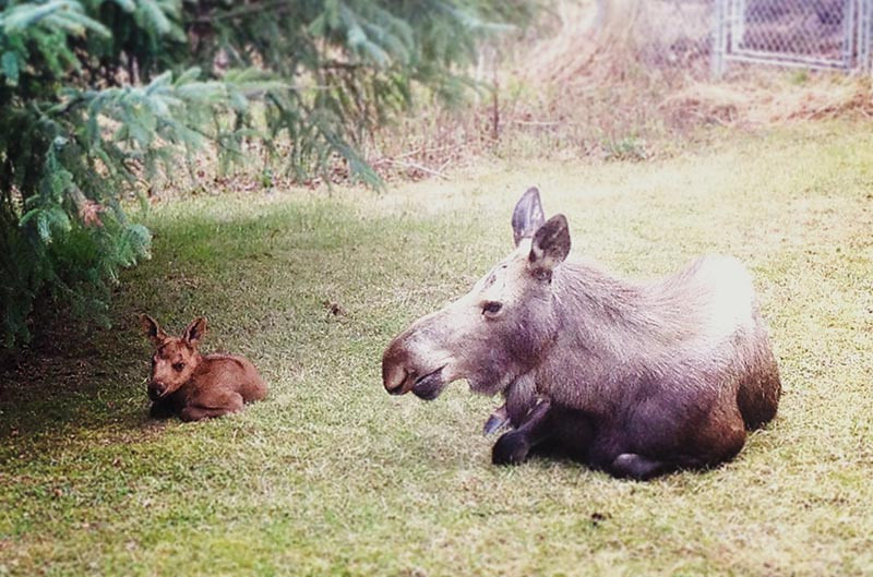 Baby Moose Calf & Mama hang out in my backyard in Anchorage, Alaska (PHOTO: Kim Olson)
