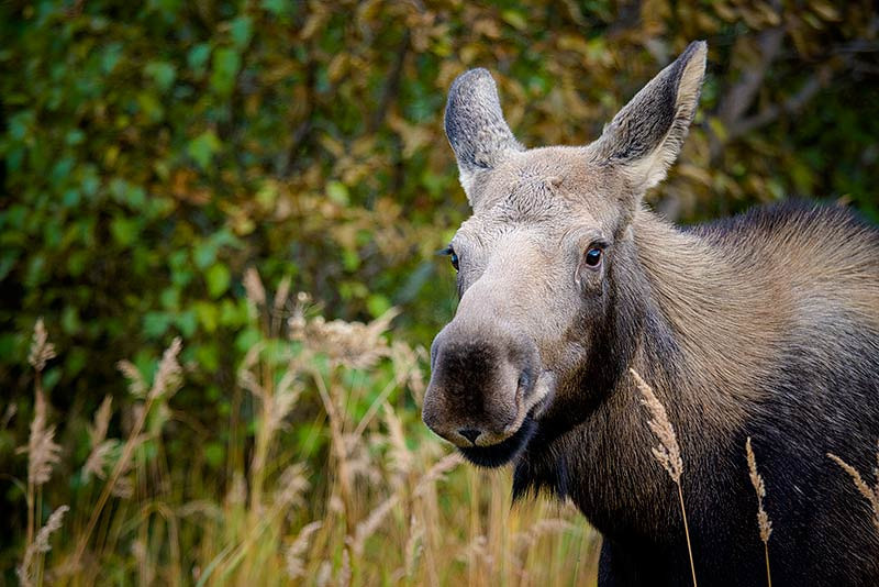 Moose in Anchorage, Alaska