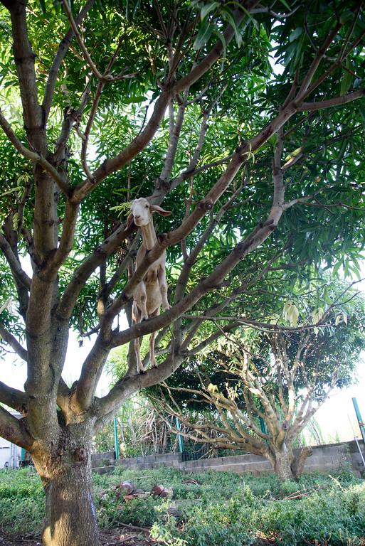 Cabri dans un arbre