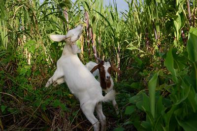 Cabri pei dans un champs de canne à sucre