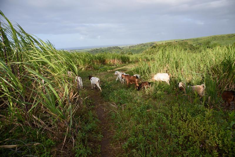 Cabri dans un champs de canne à sucre