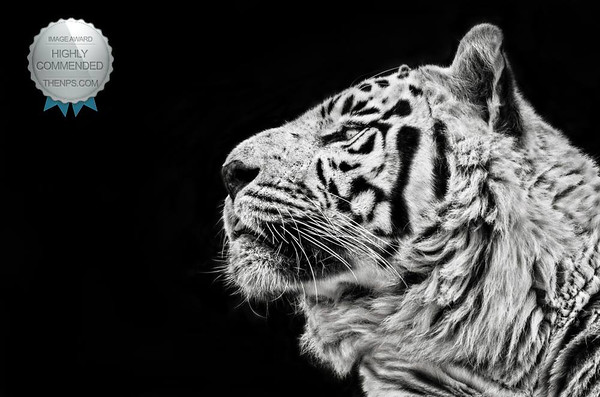 Tiger - Highly Commended Award