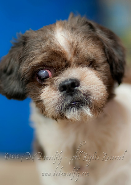 Meet Happy the Shih Tzu. Happy was dumped by his family. Fortunately his lucky stars were shining on him and he was spotted by Angeline and Alex who picked him up and took him in and fostered him for more than a month.