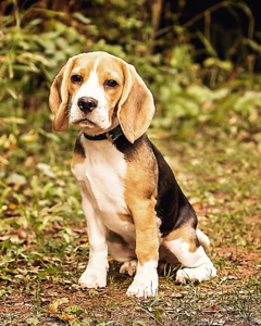 Harper, the Beagle puppy