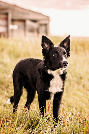 Bella, the border collie