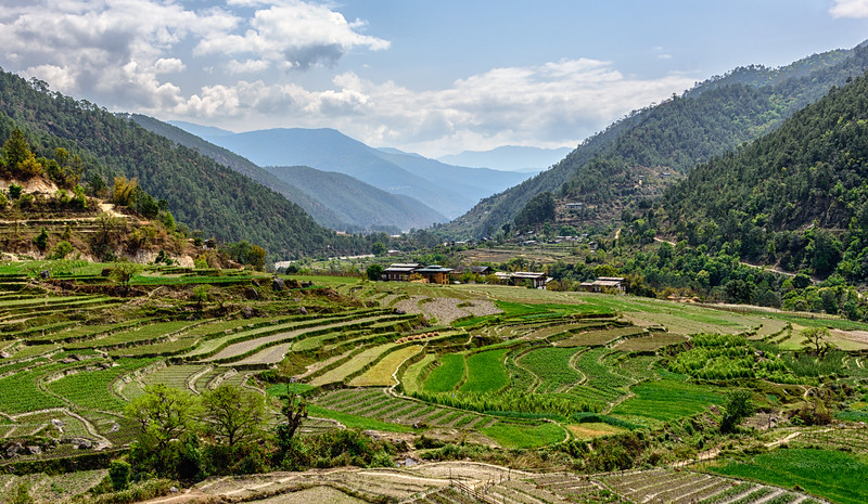 Rice fields in the Punakha Valley