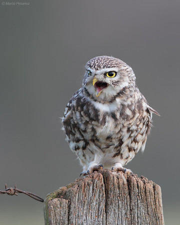 1. Little Owl