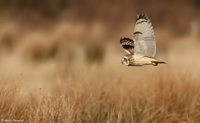 Short eared Owl, 5 Images