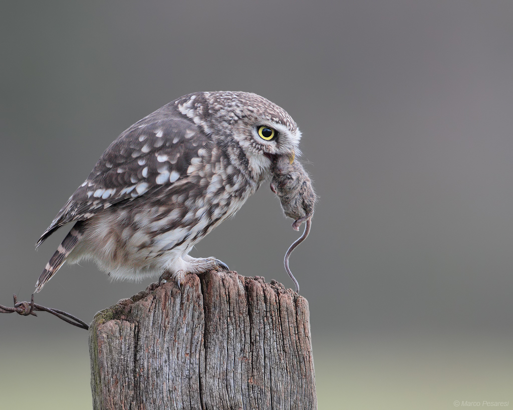 7. Little Owl