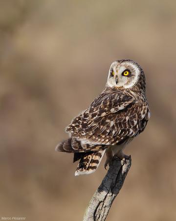 1. Short eared Owl
