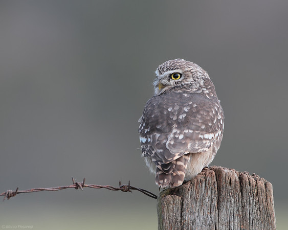 5. Little Owl
