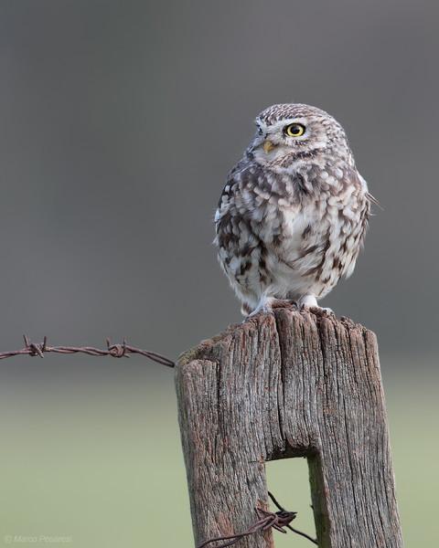 2. Little Owl