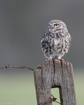 2. Little Owl
