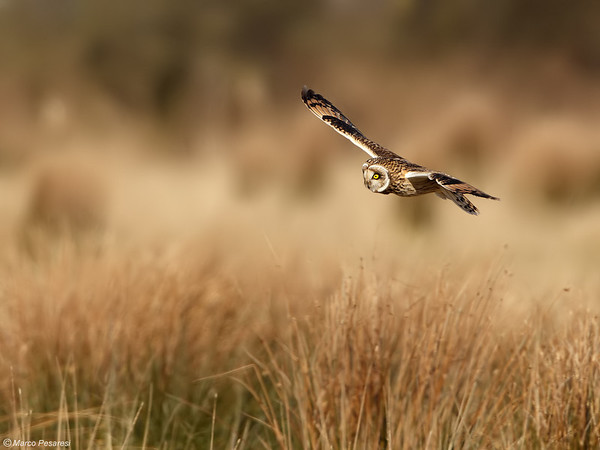 6. Short eared Owl