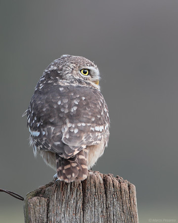4. Little Owl