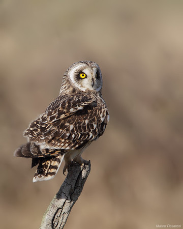 2. Short eared Owl