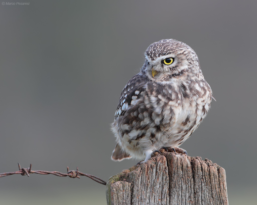 6. Little Owl